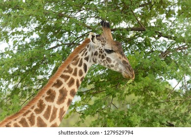 "Male Masai Giraffe (scientific name: Giraffa camelopardalis tippelskirchi or ""Twiga"" in Swaheli) image taken on Safari  in the Serengeti National park,Tanzania"