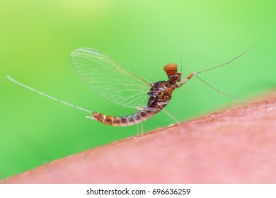 Male Mayfly.