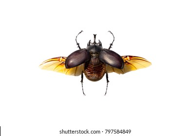 A male Megaoma actaeon beetle isolated on white background
