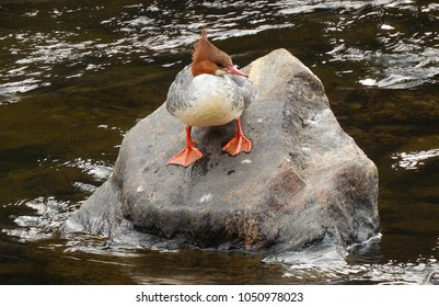 male merganser on a boulder in the south platte river in waterton canyon in littleton, colorado