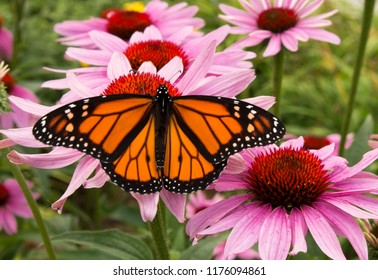 Male monarch butterfly is a pollinator for a cluster of vivid pink flowers.