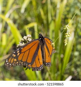 Male monarch butterfly resting on plant.