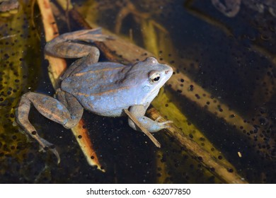 Male of moor frog in spawning blue color seating on water plants in swap