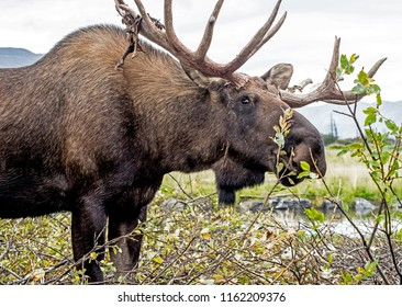 Male Moose feeding on green shrubs.