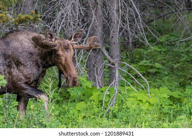 Male Moose Looks at Camera at it Exits Forest while grazing
