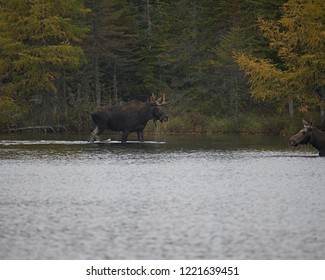 Male Moose wading in water toward female Moose