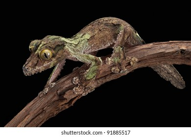 A male mossy leaf-tailed gecko looks like the bark on the vine he is crawling on.