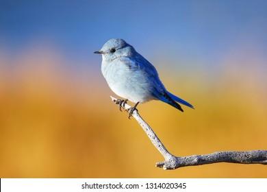 Male mountain bluebird (Sialia currucoides) sitting on a stick