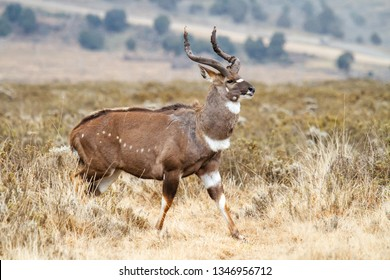 Male Mountain Nyala in the Bale Mountainns National Park. This mammal is endemic and only seen in Ethiopia.