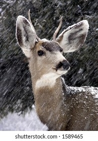 Male mule deer in a Colorado snowstorm