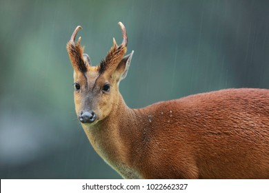 Male Muntjacs, also known as barking deer and Mastreani deer, are small deer of the genus Muntiacus, at the rain. Blur background with copy space , Khaoyai National Park . Thailand