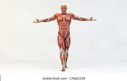Male muscle anatomy