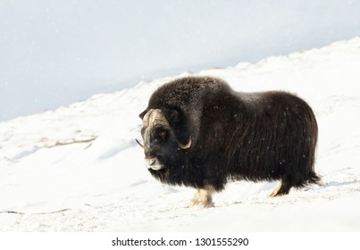 Male Musk Ox standing in snowy Dovrefjell mountains, winter in Norway.
