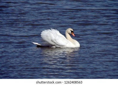 Male Mute Swan busking on dark blue water