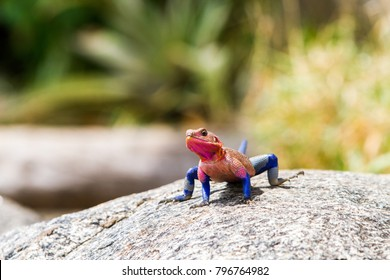 Male Mwanza flat-headed rock agama (Agama mwanzae) or the Spider-Man agama in the family Agamidae,  with bright red or violet head, neck, and shoulders and dark blue body in Serengeti, Tanzania