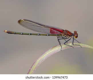 A male, nearly mature, American Rubyspot damselfly (Hetaerina americana) perched on vegetation on the South Llano River near Junction (Kimble County), Texas
