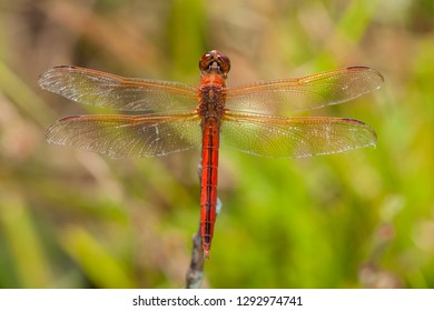 A male Needham's Skimmer perched on a dead twig