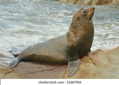 Male New Zealand Fur Seal at Ohau Point, New Zealand