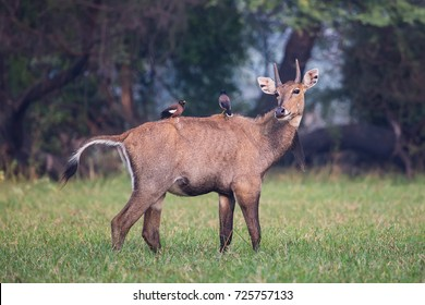 Male Nilgai with Brahminy mynas sitting on him in Keoladeo National Park, Bharatpur, India. Nilgai is the largest Asian antelope and is endemic to the Indian subcontinent.