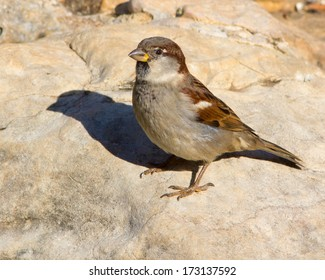 Male, non-breeding House Sparrow (Passer domesticus) perched on rocks in the Texas Hill Country