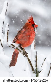 Male North American Cardinal.  Closeup of a winter Cardinal.