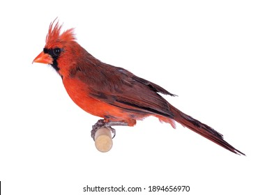 Male Northern Cardinal aka Cardinalis cardinalis bird, sitting on wooden stick. Isolated on white background.