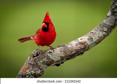 Male Northern Cardinal (Cardinalis cardinalis)
