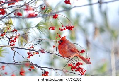 Male Northern Cardinal (Cardinalis cardinalis) eating red berries