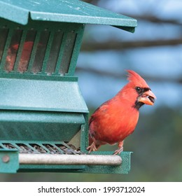 A male northern cardinal (Cardinalis cardinalis) holds a prize sunflower seed in his beak as he prepares to fly from the bird feeder in spring.