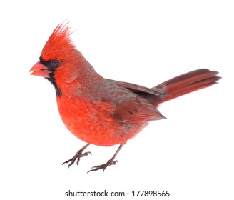 Male northern cardinal, Cardinalis cardinalis, isolated on white