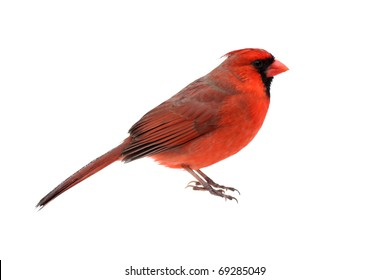 Male Northern Cardinal (Cardinalis) - Isolated on a white background