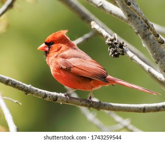A male Northern Cardinal (Cardinalis cardinalis) a medium-sized songbird, bright red with black markings around its eyes, facing left, sitting on a tree branch I Taneytown, Carroll County, Maryland, i