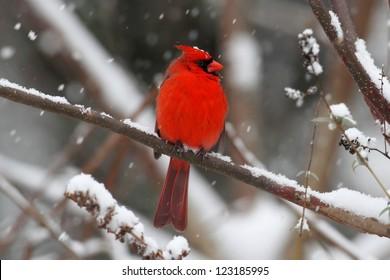 Male Northern Cardinal (cardinalis cardinalis) on a branch in a snow storm