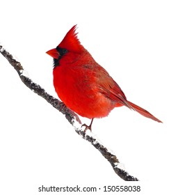 A male Northern Cardinal (Cardinalis cardinalis) on a snowy branch isolated on a white background.