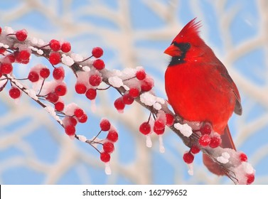 A male Northern Cardinal (Cardinalis cardinalis) on a snowy branch full of bright red berries.