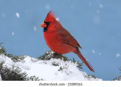 Male Northern Cardinal (cardinalis cardinalis) on a Spruce branch covered with snow falling