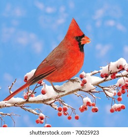 Male Northern Cardinal (Cardinalis cardinalis) on a snowy Hawthorn branch laden with red berries.