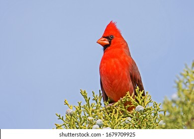 A male Northern Cardinal (Cardinalis cardinalis) is perched on the top of a tree in Sedona, Arizona.
