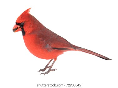 Male northern cardinal, Cardinalis cardinalis, with a seed in its beak isolated on white