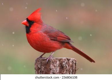 Male Northern Cardinal (cardinalis cardinalis) in a snowy scene