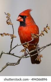 Male Northern Cardinal Close Up
