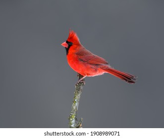 Male Northern Cardinal Closeup Portrait in Winter on Gray Background