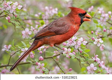 Male Northern Cardinal in Crab Apple Tree