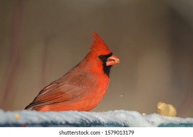 Male Northern Cardinal eating bird seed in snow