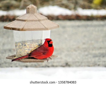 Male Northern Cardinal enjoying some birdseed from the bird feeder