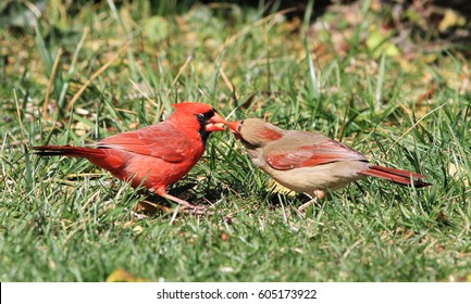 Male Northern Cardinal Feeding his Mate