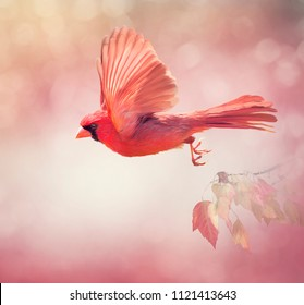 Male Northern Cardinal Flying  ,watercolor painting