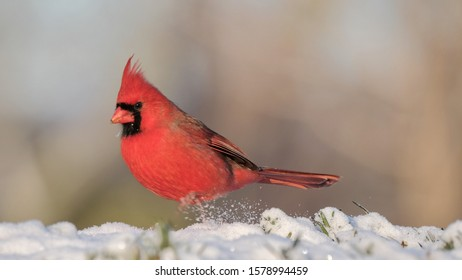 A male northern cardinal looking for food.