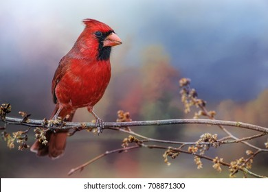 Male Northern Cardinal on Branch with Colorful Background