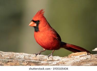 Male northern cardinal on a log.